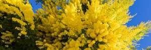 Les 22 et 23 février, ne manquez pas le corso fleuri de Bormes les Mimosas