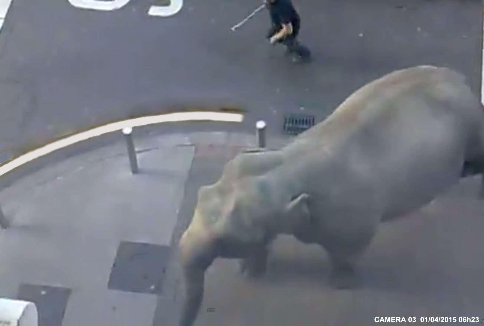 Un éléphant S'échappe En Plein Paris !
