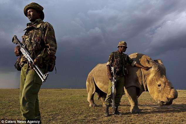 sudan rhinocéros blanc