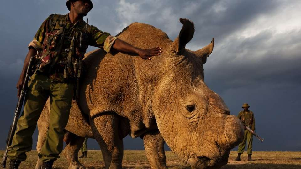 sudan rhinoceros blanc