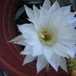 Cactusfleur